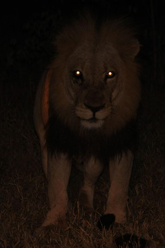 Lion Anatomy- The Eye | Safari Guide Online