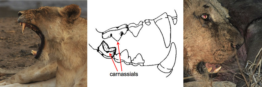 Lion Teeth Diagram | www.pixshark.com - Images Galleries ...