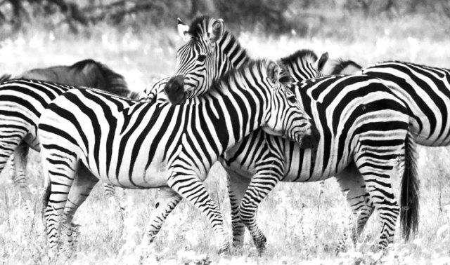 As these two stallions rub up against each other is a mock battle, their stripes blend into one as well as stripes from surrounding animals. Making it hard to pick out one individual animal.